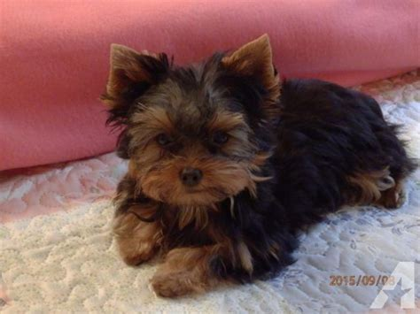 yorkie puppies for sale in erie pa terrier pup for sale in erie pennsylvania classified americanlisted