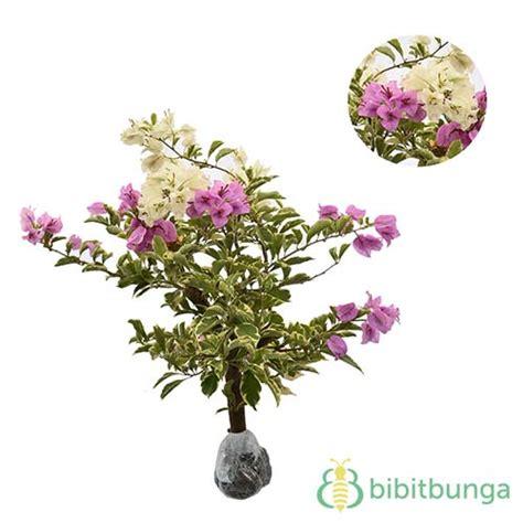 Pembatas Keranjang Silver tanaman bougenville ungu putih bibitbunga