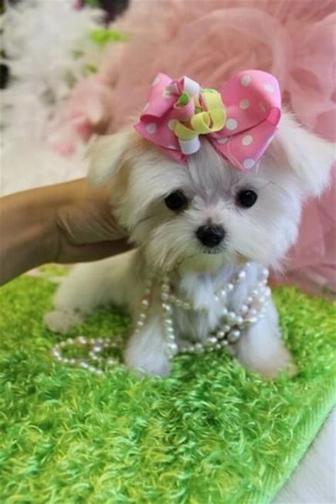 maltese puppies for sale in florida the world s catalog of ideas