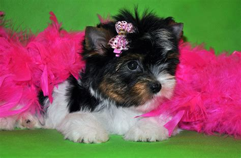 what is a biewer yorkie the smart attributes of biewer yorkies