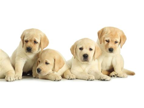picture of puppies cdc investigating multistate infection outbreak it links to puppies from petland abc
