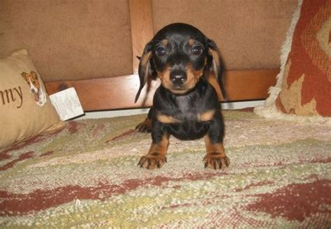 puppies for sale rapid city sd puppies for sale in rapid city sd breeds picture