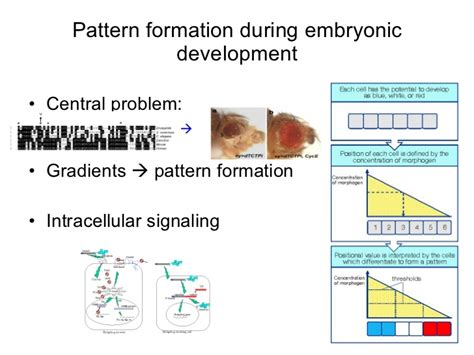 pattern formation during development pattern formation drosophila