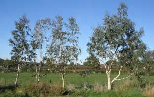 eucalyptus tree plants when how to prune eucalyptus tree