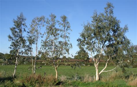 eucalyptus trees eucalyptus tree plants when how to prune eucalyptus tree