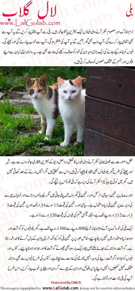 Essay About Cats by Cat Essay Urdu Billi Par Mazmoon My Cat Urdu Essay Mazmoon Urdu Speech Notes Paragraph Essay