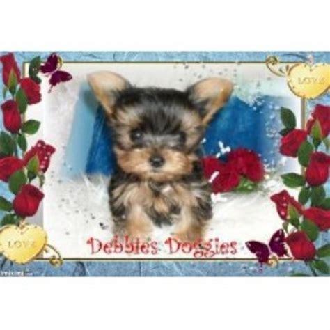 yorkie rescue oklahoma city terrier yorkie breeders in oklahoma freedoglistings
