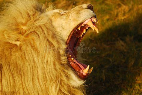 lion roaring stock image image
