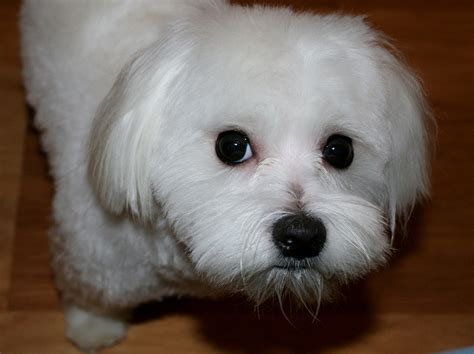maltese poodle lifespan the maltese the happy puppy site