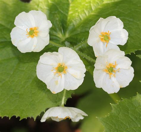 skeleton flower growing conditions tips on caring for skeleton flower plants