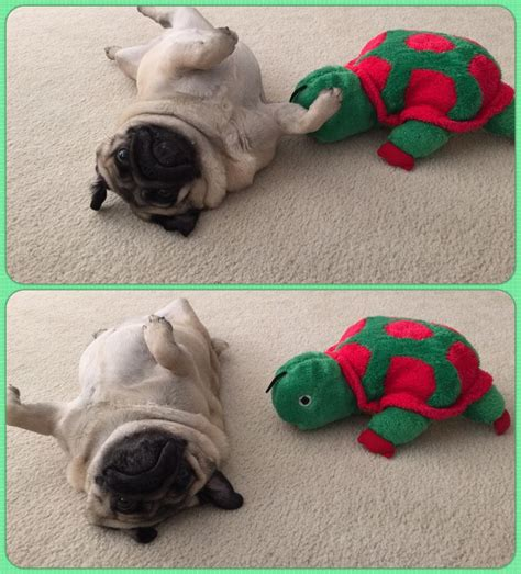 best chew toys for pugs 17 best images about pugs and toys on you rub the octopus and toys