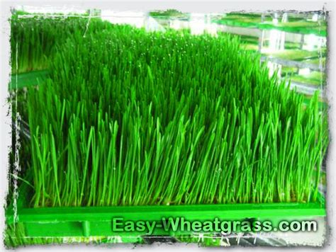 easy grow wheatgrass compare wheatgrass powder wheatgrass juicer easy