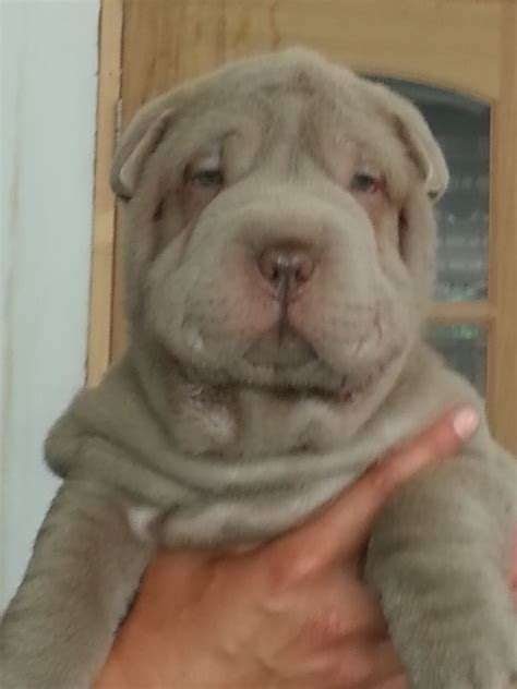 shar pei puppies babies available stunning fluffy shar pei babies potters bar hertfordshire pets4homes