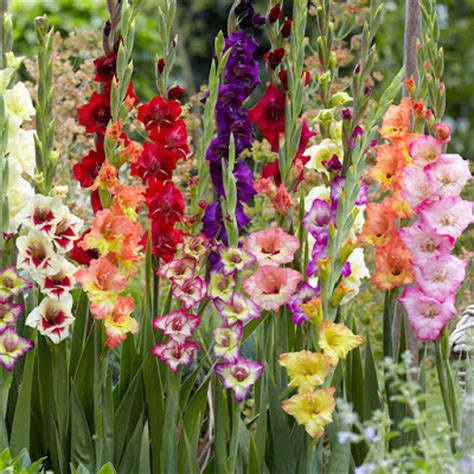 serba serbi bunga gladiol si pedang kecil dunia tumbuhan