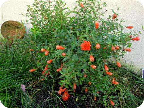 melograno nano in vaso il sito di roberta cucito creativo piante e giardino