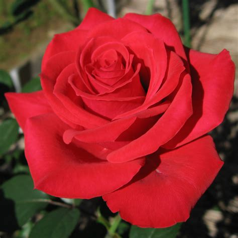 rose can file rosa red chateau01 jpg wikimedia commons