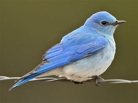 what are the differences between blue bird and a blue jay