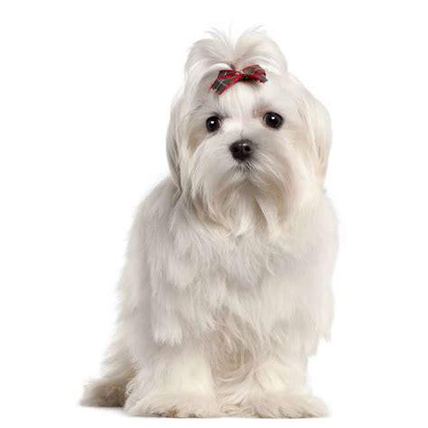 maltese alimentazione maltese scheda razza cani it