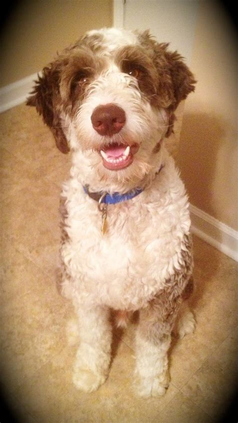 aussiedoodle puppies hair cuts aussiedoodle haircut ruby blue roman boy pinterest
