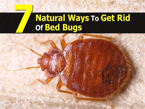 how to get rid of bed bugs 7 natural ways to get rid of bed bugs
