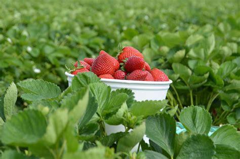 Lagerung Erdbeeren by Erdbeeren Ernten Und Lagern Plantura