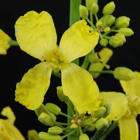Brassica Oleracea Var Sabellica 3764 by Brassica Oleracea Var Sabellica