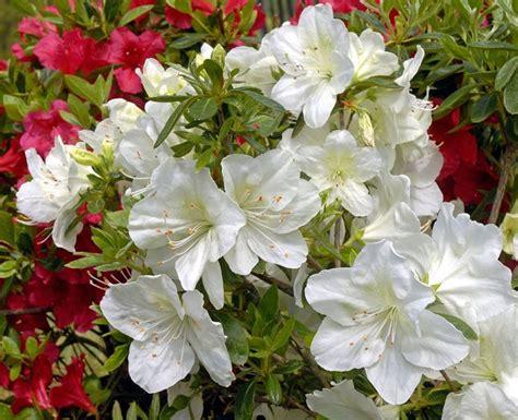 azalea da giardino azalea come curare piante da giardino curare azalea