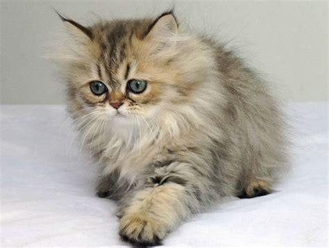Boneka Kucing Cat 3 Colour Big Eye 9 Chinchilla Cat S Daily 3 Cats