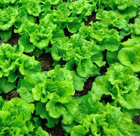 menanam metode hidroponik cara menanam selada dengan metode hidroponik bibitbunga com