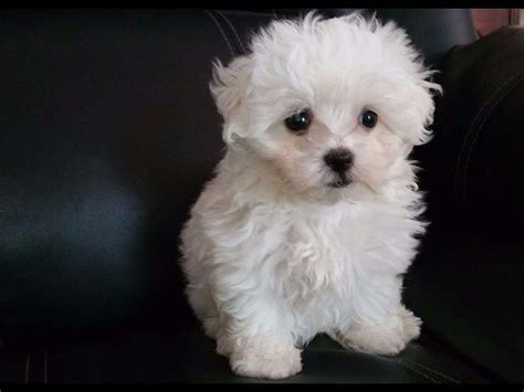 maltese puppies for sale in michigan mi maltese suter maltese puppies for sale