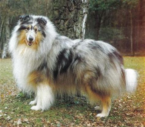 blue merle collie puppies for sale collies blue merles
