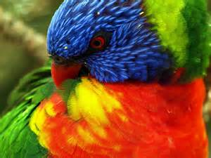big colorful bird rainbow lorikeet hd wallpaper and background