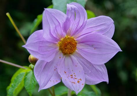 photos of flowers photos of colombia flowers dahlia imperialis