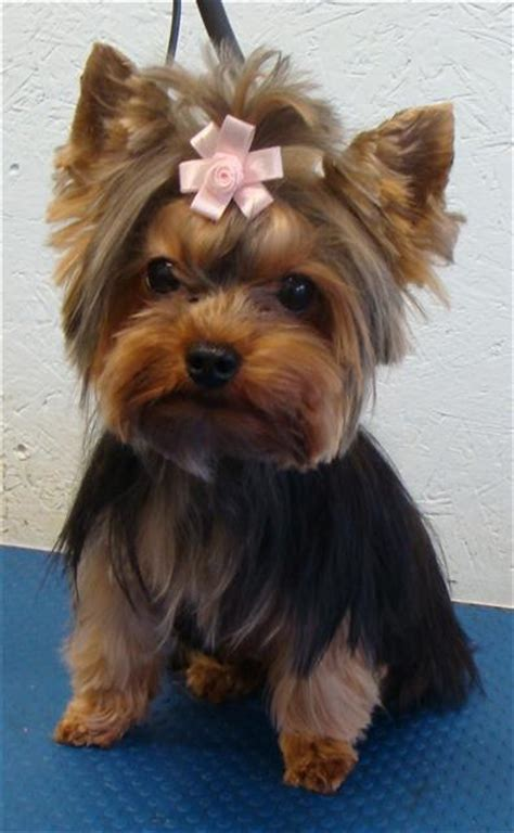 yorkie photo gallery yorkie haircuts pictures only newhairstylesformen2014