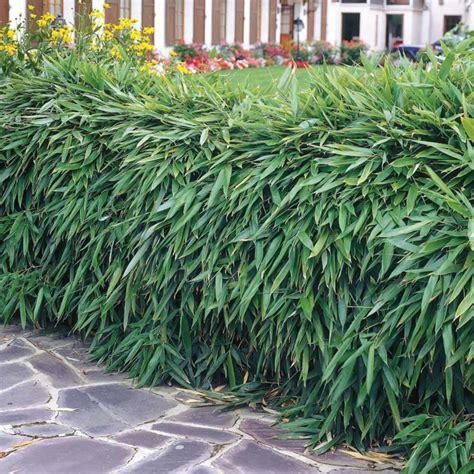 Garten Hecken Pflanzen by Heckenpflanzen Ausw 228 Hlen Und Eine Sch 246 Ne Hecke Gestalten