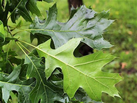 Isu Forestry Extension Tree Identification Black Oak Black White Oak Leaf
