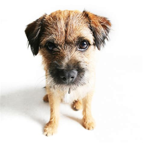 scruffy puppy scruffy pet portrait flickr photo