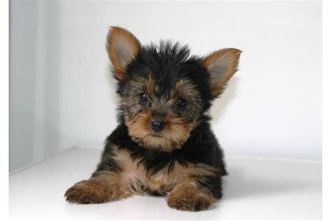 yorkie puppies denver pets denver co free classified ads