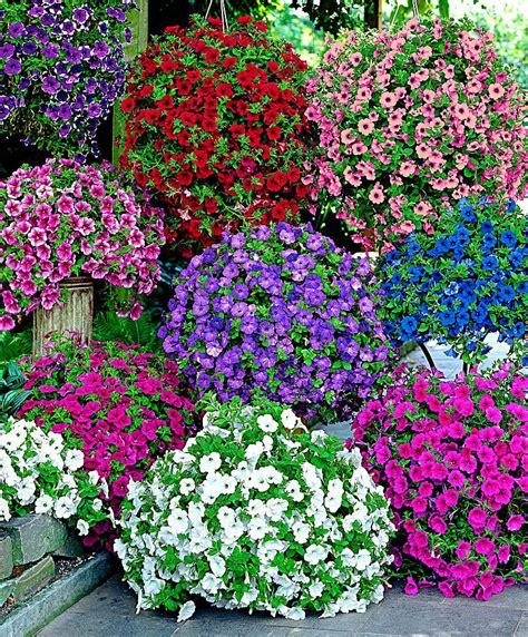 Petunien Bilder by Kaufen Sie Jetzt Blumensaat Petunien In 6 Sorten Gemischt