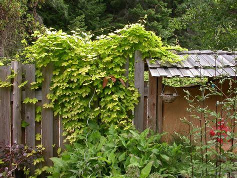 fast growing climbing plants for fences s garden golden hops vine