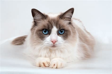 ragdoll cat most expensive cat breeds in the world