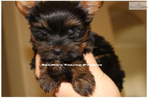 yorkie puppies for sale brisbane micro pocket tiny teacup yorkie puppies for sale in brisbane breeds picture