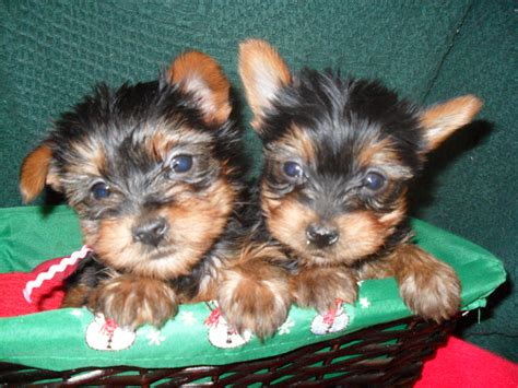 carolina yorkie breeders terrier breeders terrier dogs and