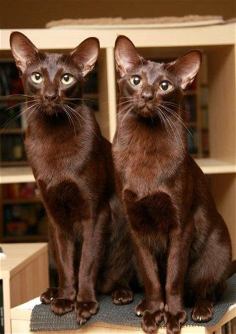 Havana Brown Cat Info, History, Personality, Care, Kittens