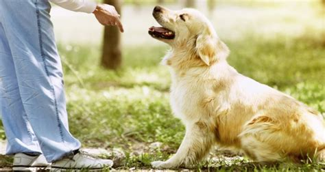 what age to start puppy what is the right age to start a golden retriever puppy