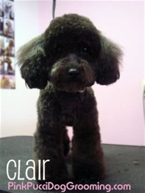 exles of poodle cuts styles 1000 images about dog grooming on pinterest poodles