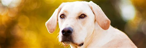 rescue kansas labrador rescue kansas city dogs in our photo