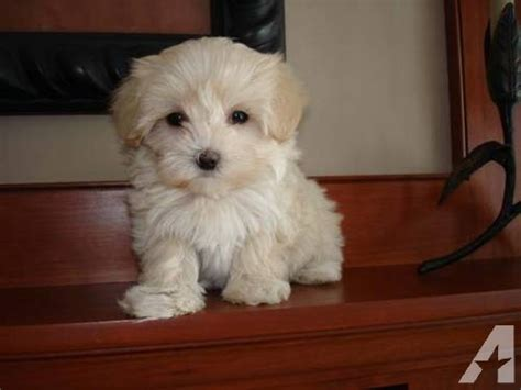 maltipoo puppies rescue maltipoo puppies ready for adoption 8 wks for sale in rochester minnesota