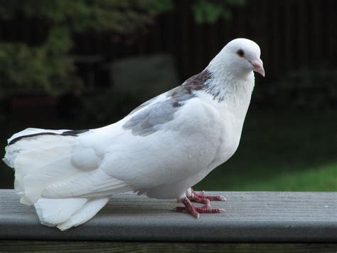 white pigeon doves 372951