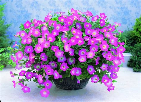 menanam bunga petunia tanaman hias bunga buah  sayur